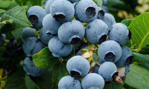 Blueberry_8045.nef